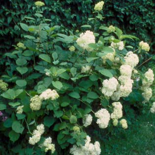 Wald-Hortensie 'Grandiflora'