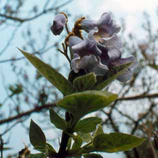 Chinesischer Blauglockenbaum